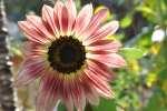 Sonnenblume00081