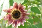 Sonnenblume00101